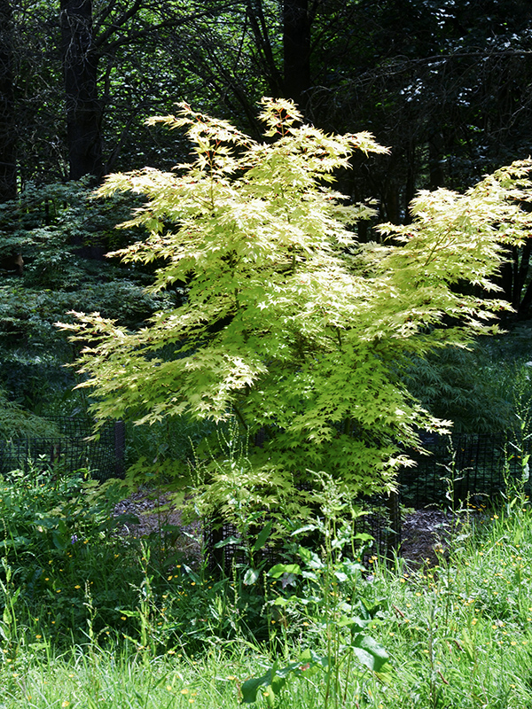 Acer-palmatum-Orange-Dream-wbrt-frm.JPG