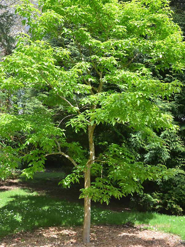 Acer triflorum, form. National Trust Trelissick Garden, Feock, near Truro, Cornwall, United Kingdom.