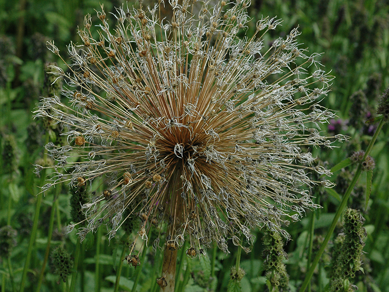 The dried seed head of a spent bloom.