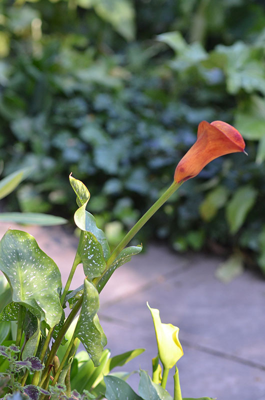 Calla-Fire-Dancer-flower-2.jpg