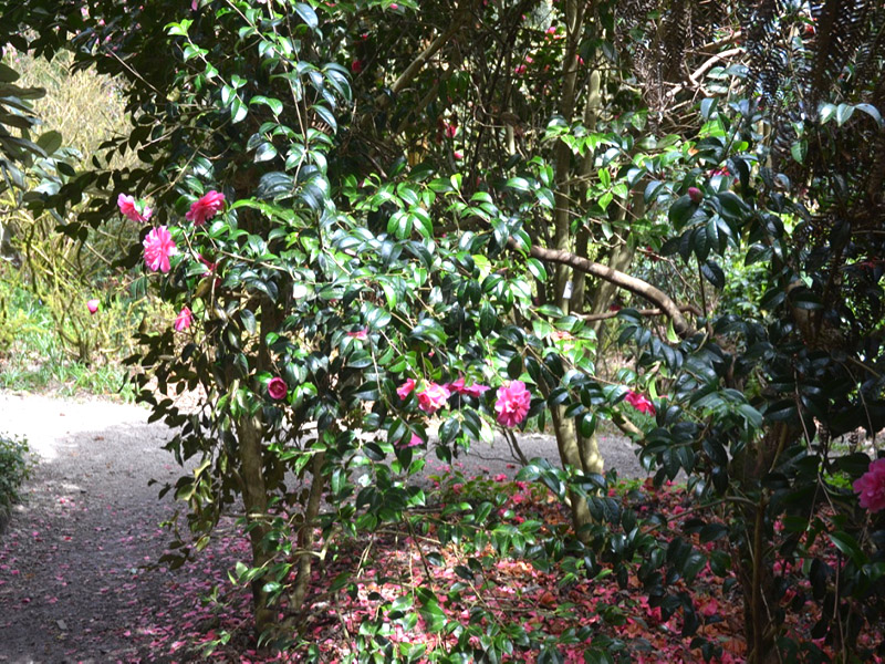 Camellia 'Inspiration', form. Trengwainton Garden, Madron, near Penzance, Cornwall, United Kingdom.