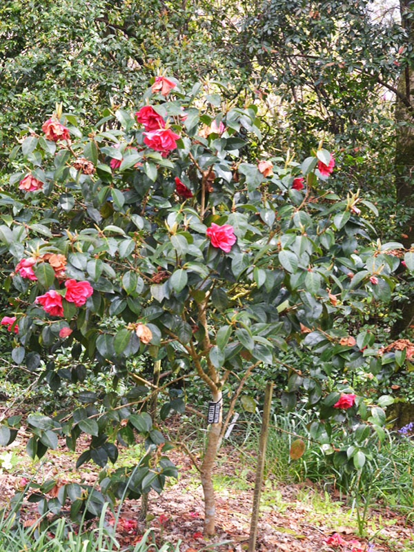 Camellia-William-Hertrich-cc-frm