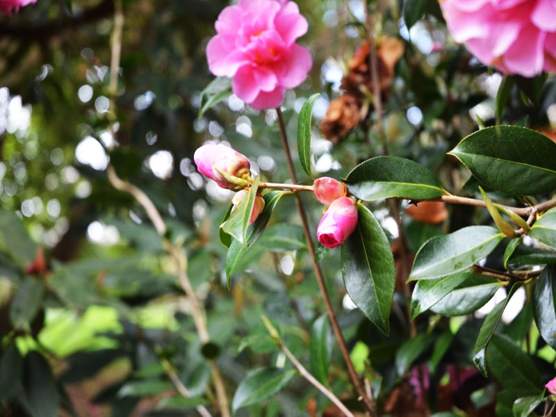 Camellia x williamsii 'Brigadoon', flower bud. Caerhays Castle, Goran, Cornwall, United Kingdom.