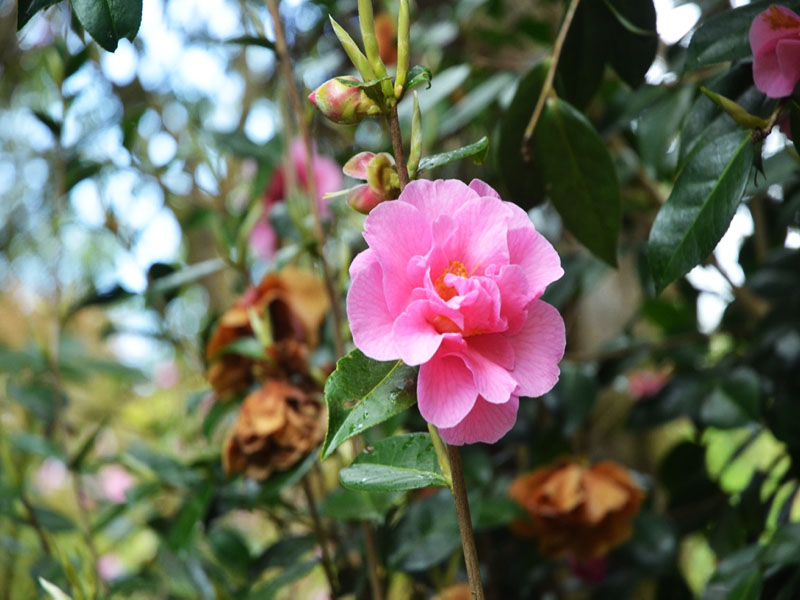 Camellia x williamsii 'Brigadoon', flower. Caerhays Castle, Goran, Cornwall, United Kingdom.
