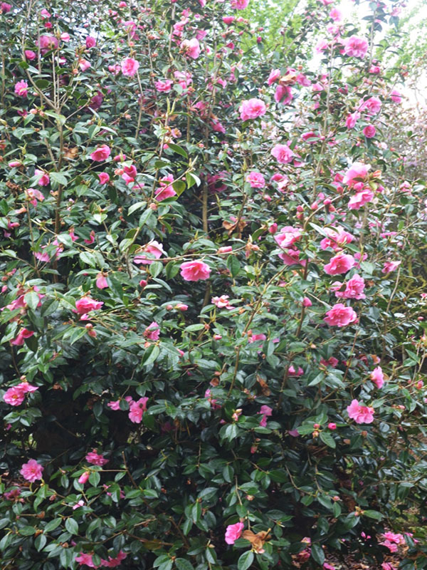 Camellia x williamsii 'Brigadoon', form. Caerhays Castle, Goran, Cornwall, United Kingdom.
