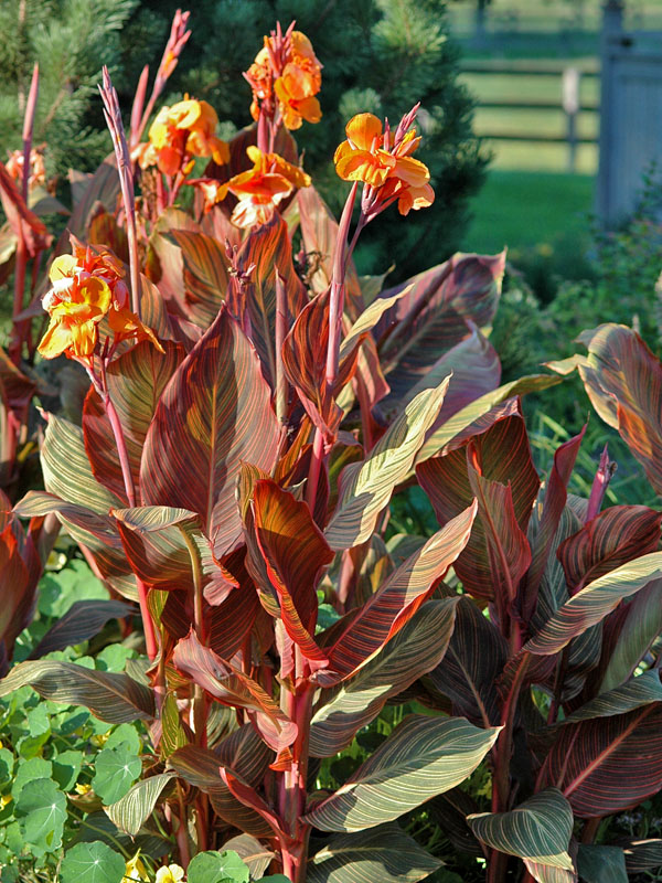 Canna-African-Sunset-form.jpg