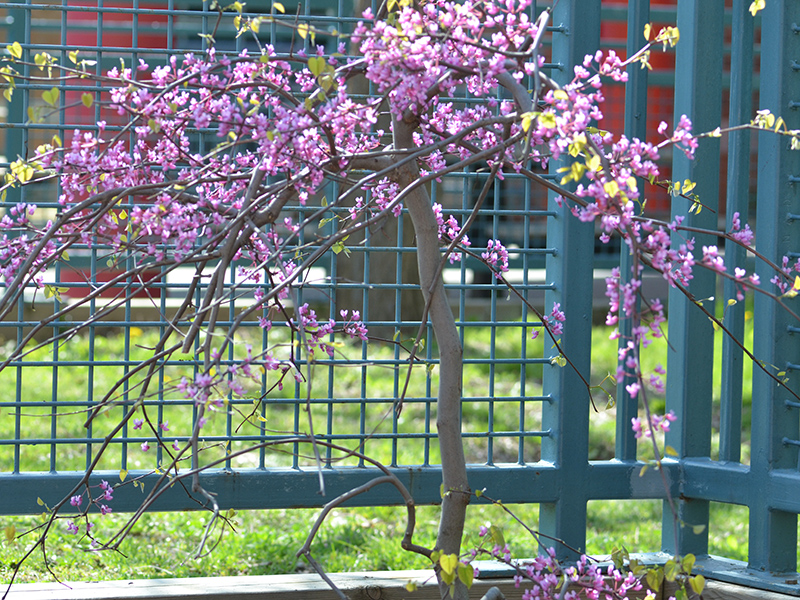 Cercis-canadensis-Covey-Fan-frm-1.jpg
