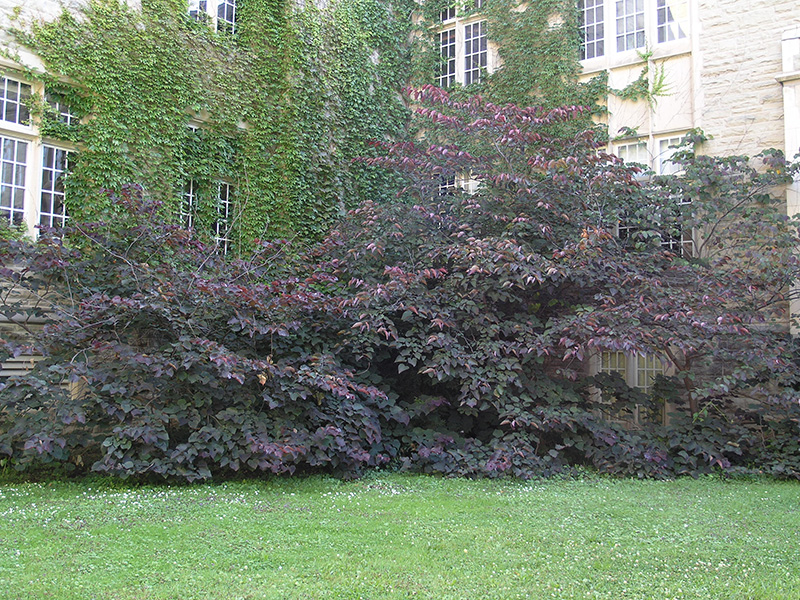 Cercis-canadensis-Forest-Pansy-frm-1.jpg
