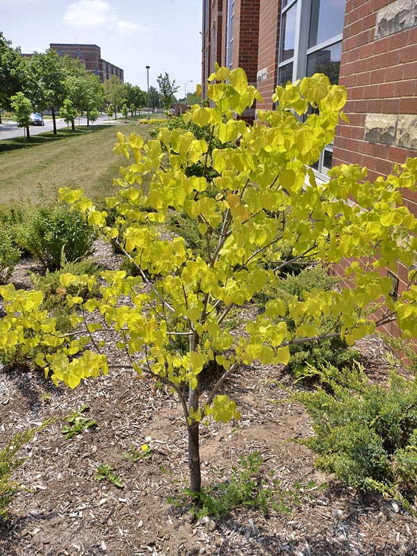 Cercis-canadensis-Hearts-of-Gold-form.jpg