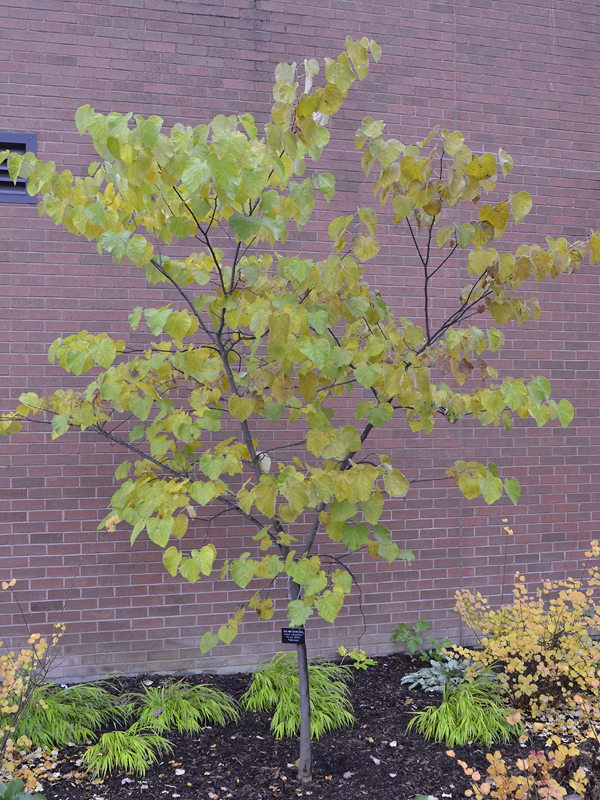 Cercis-canadensis-Royal-White-fan-form.jpg
