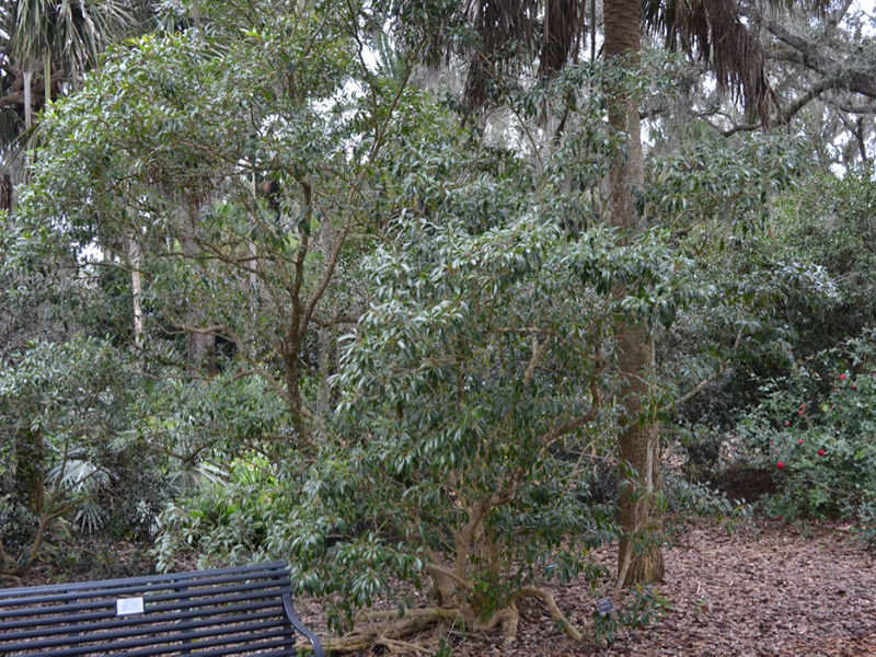 Citharexylum spinosum, form, Bok Tower Gardens, Lake Wales, Florida, United States of America.