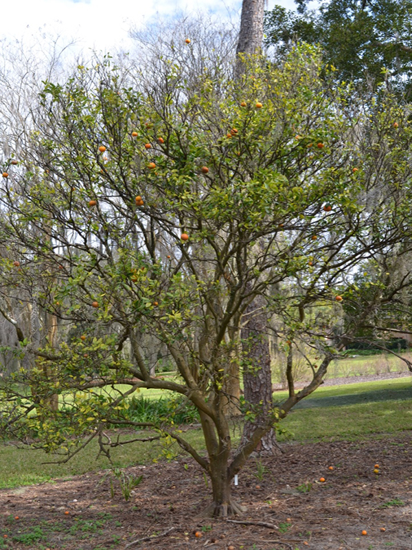 Citrus reticulata 'Sunburst', form, Bok Tower Gardens, Lake Wales, Florida, United States of America.