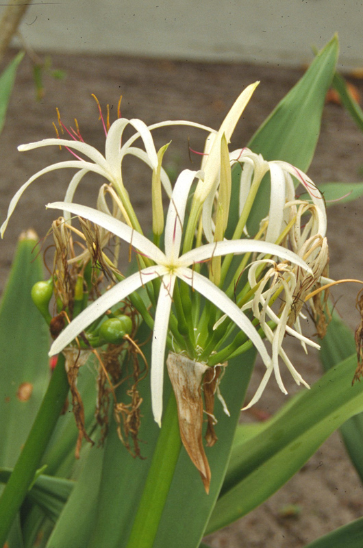 Crinum asiaticum, flower.