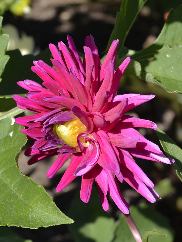Dahlia-Purple-Gem-cuddy-flower.JPG