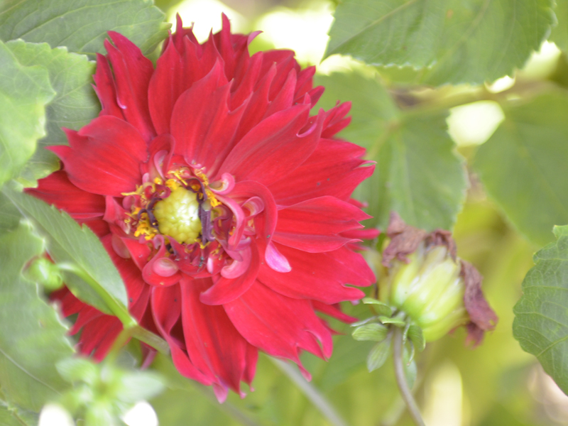 Dahlia-Red-Majorette-cuddy-flower.JPG