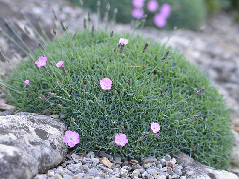 Dianthus-Minimounds-frm-1.jpg