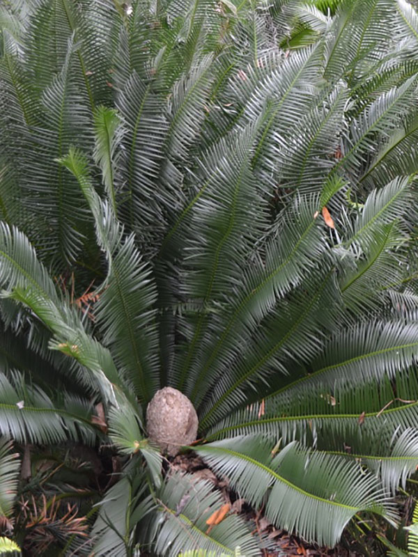 Dioon edule, form. Bok Tower Gardens, Lake Wales, Florida, United States of America.