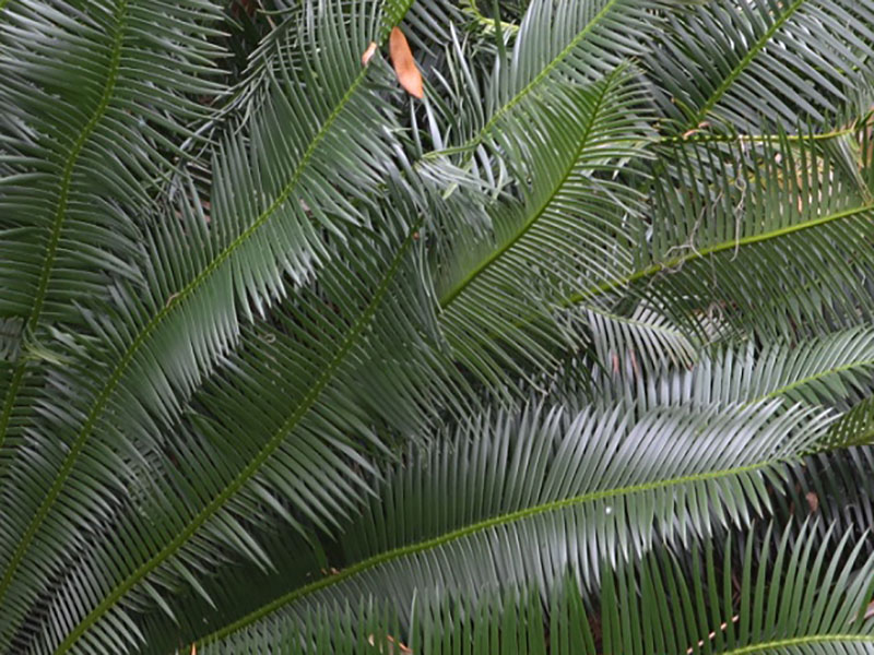 Dioon edule, leaf. Bok Tower Gardens, Lake Wales, Florida, United States of America.