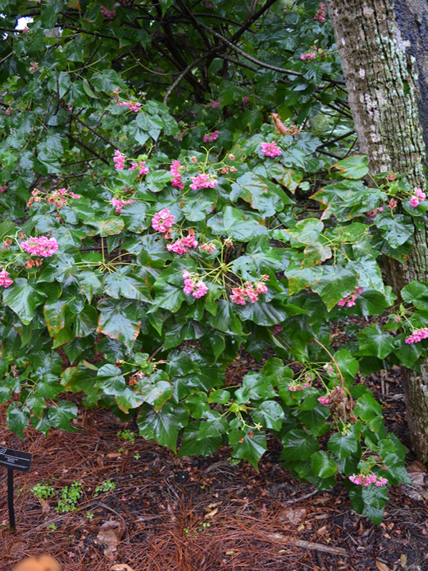 Dombeya burgessiae 'Seminole', form, Harry P. Leu Gardens, Orlando, Florida, United States of America.