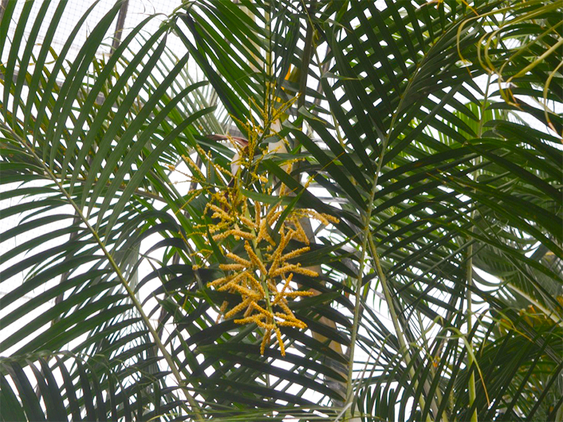Dypsis lutescens, Flower.
