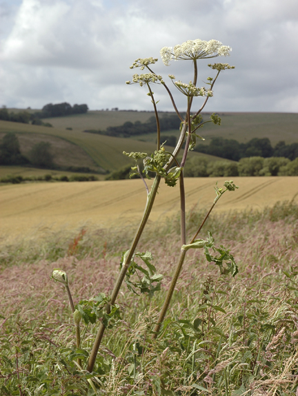 Pictured here growing along the edge of the Sussex Downs, near Brighton, England.