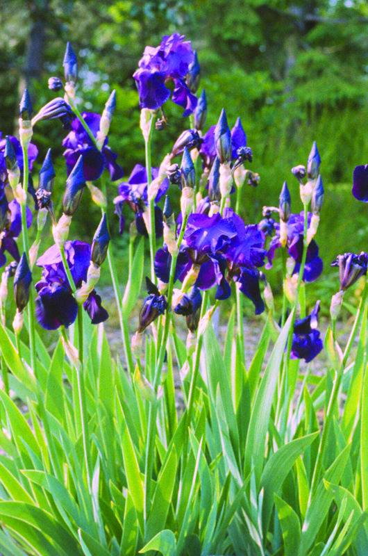 Iris-Sable-school-of-hort-form.jpg