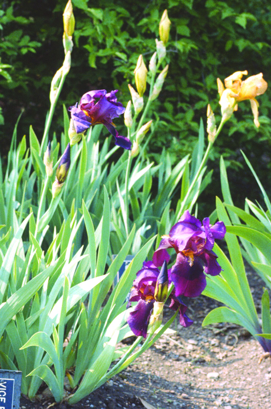 Iris-vice-regal-school-of-hort-form.jpg
