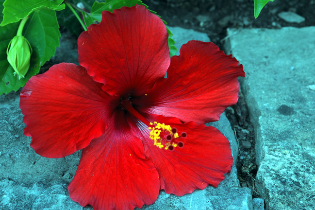 Hibiscus rosa-sinensis 'Red Hot', flower.