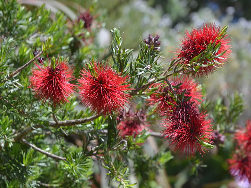 Kunzea baxteri, flower. Tresco Abbey Garden, Tresco, Isles of Scilly, United Kingdom.