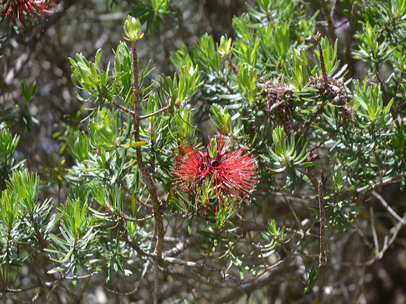 Kunzea baxteri, leaf. Tresco Abbey Garden, Tresco, Isles of Scilly, United Kingdom.
