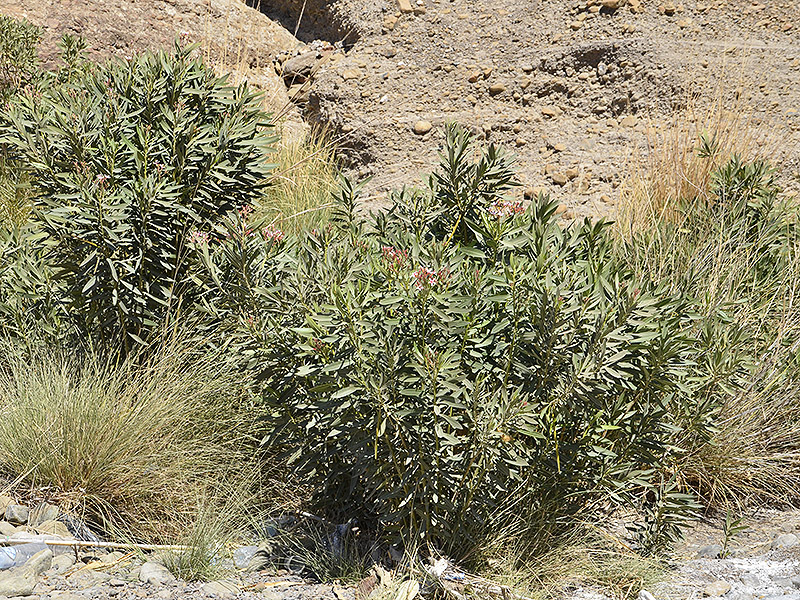 Nerium oleander growing in a wadi in Oman.
