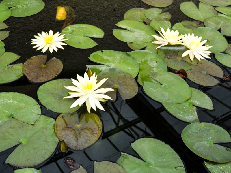 Nymphaea lotus, form.