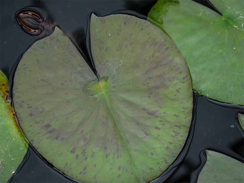 Nymphaea lotus, leaf.