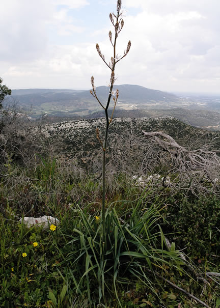 A plant growing in its  native environment in Portugal.