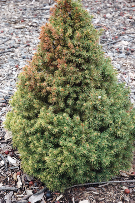 Picea glauca rainbows_End Fan.jpg
