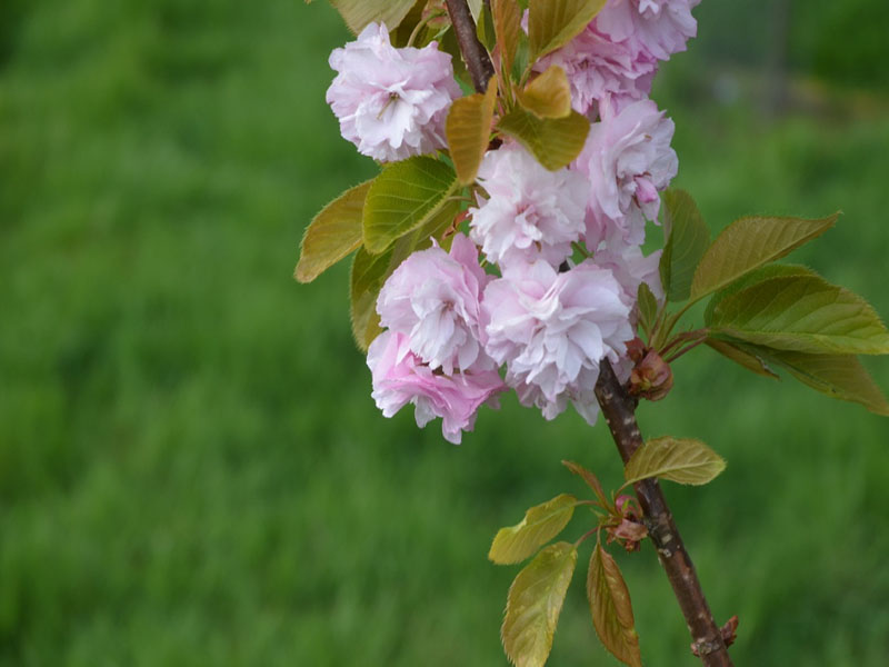 Prunus 'Daikoku', flower cluster, Caerhays Castle, Goran, Cornwall, United Kingdom.