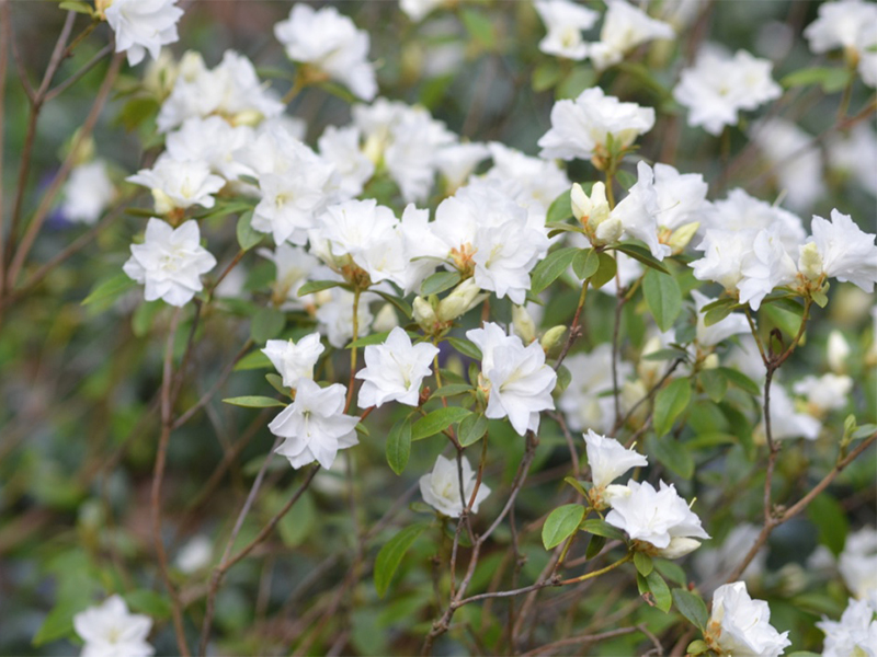 Rhododendron-April-Snow flw.jpg