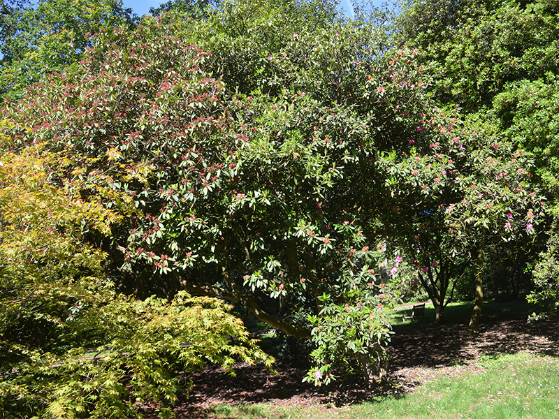 Rhododendron-Concessum-frm.jpg