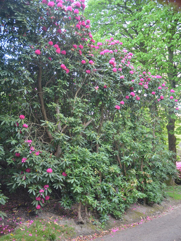Rhododendron-Cornish-Red-cc-frm1