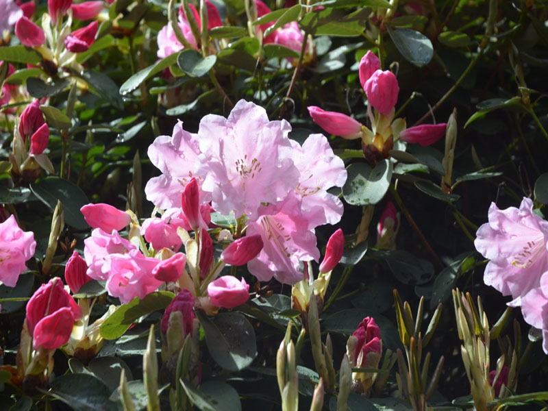 Rhododendron 'igh Sheriff', flower, Caerhays Castle, Goran, Cornwall, United Kingdom.