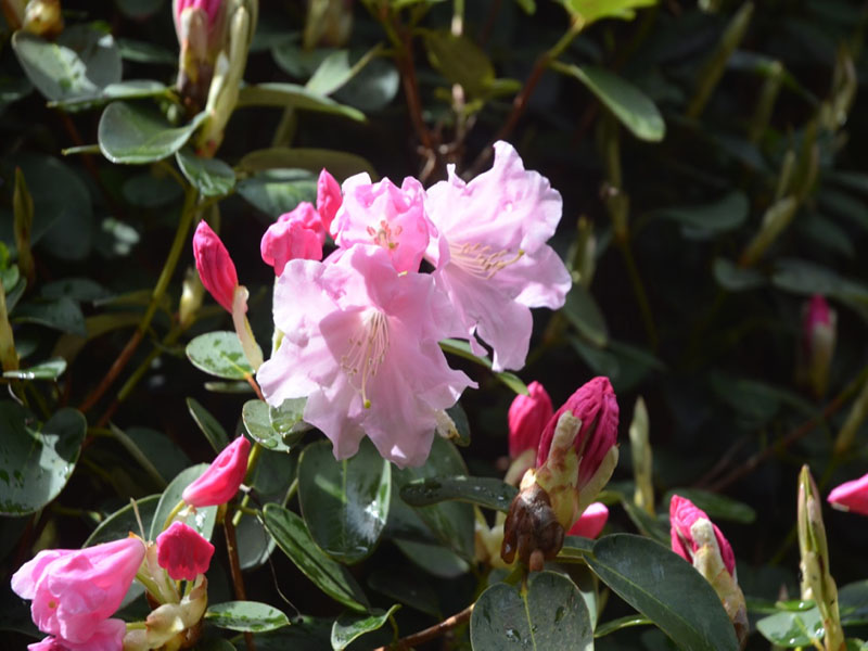 Rhododendron 'High Sheriff', flower, Caerhays Castle, Goran, Cornwall, United Kingdom.