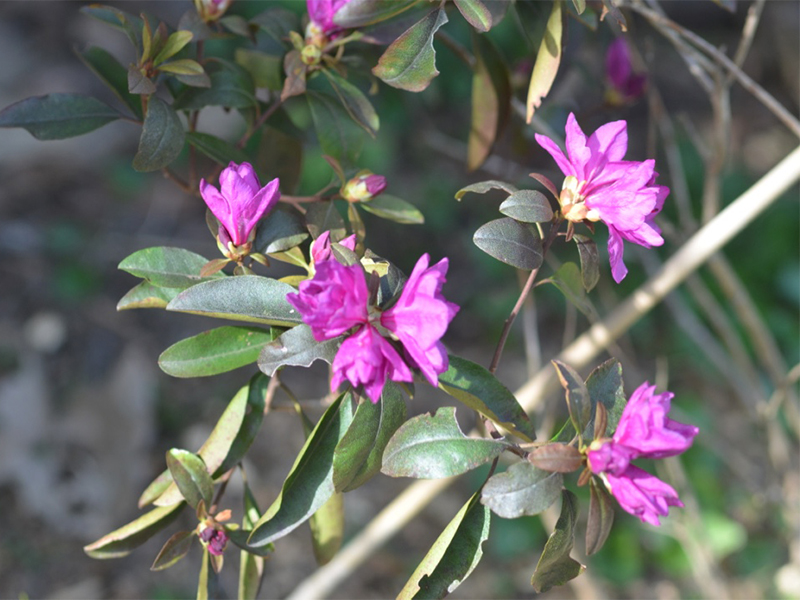Rhododendron-Legacy flw.jpg