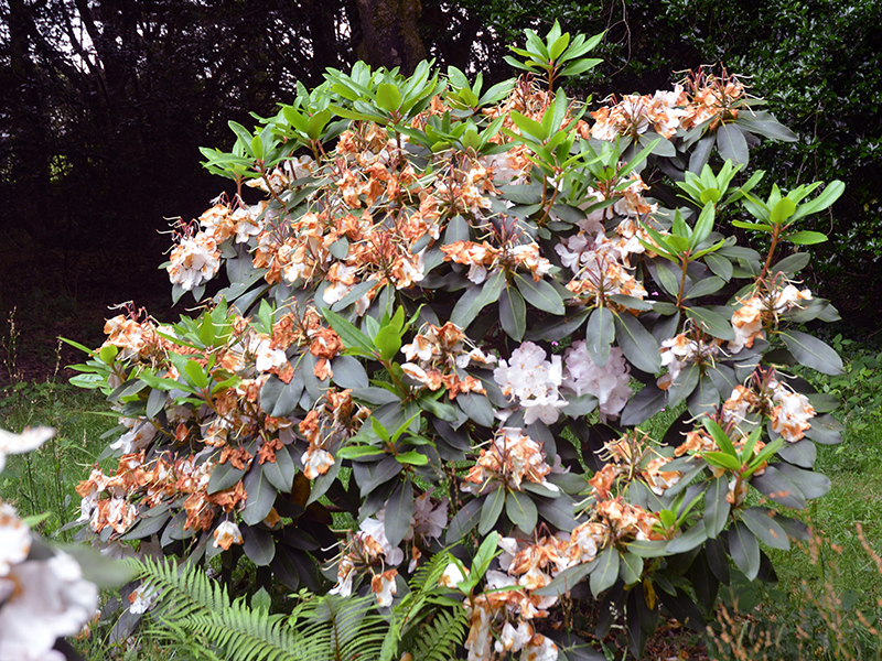 Rhododendron-Lord-Roberts-FRM.JPG