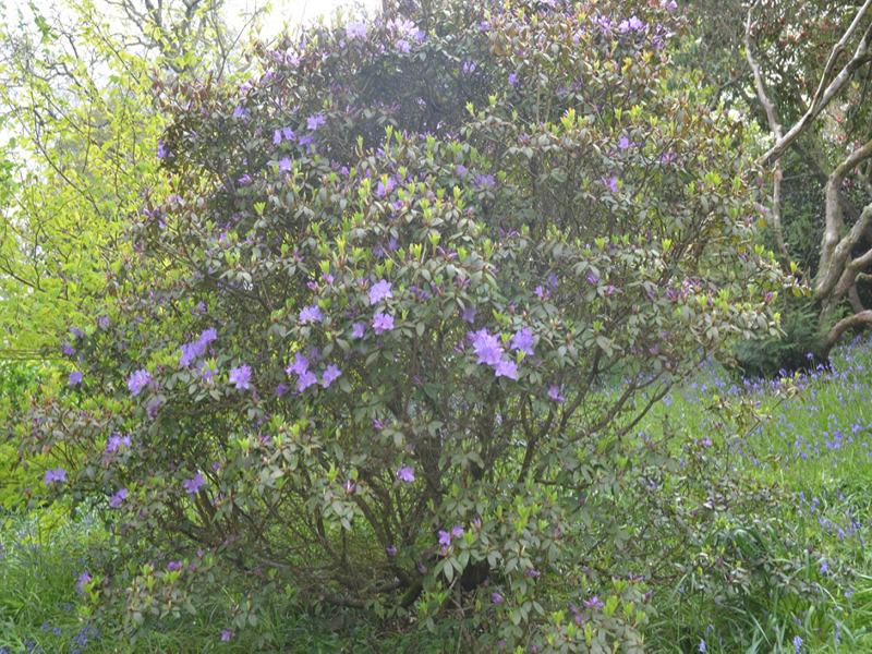 Rhododendron-St-Breward-tre-frm1