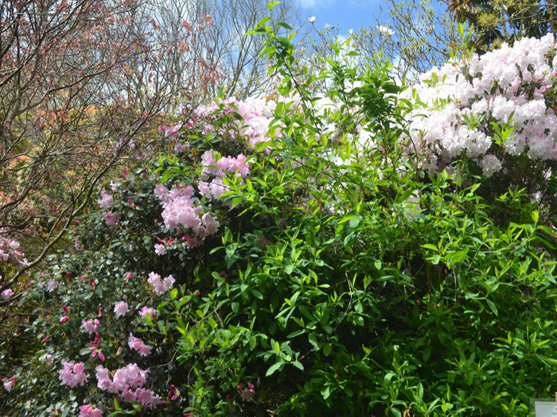 Rhododendron-Tinners-Blush-cc-frm1