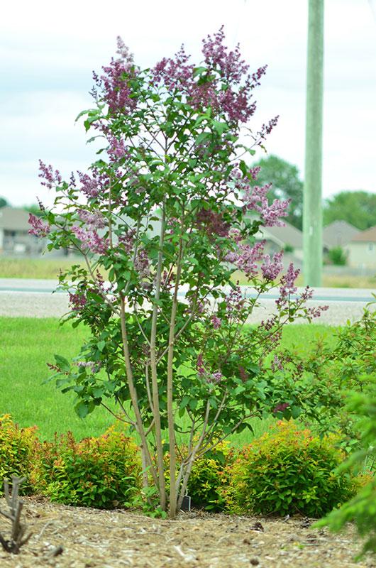 Light purple flowers for Purple flower shrub california