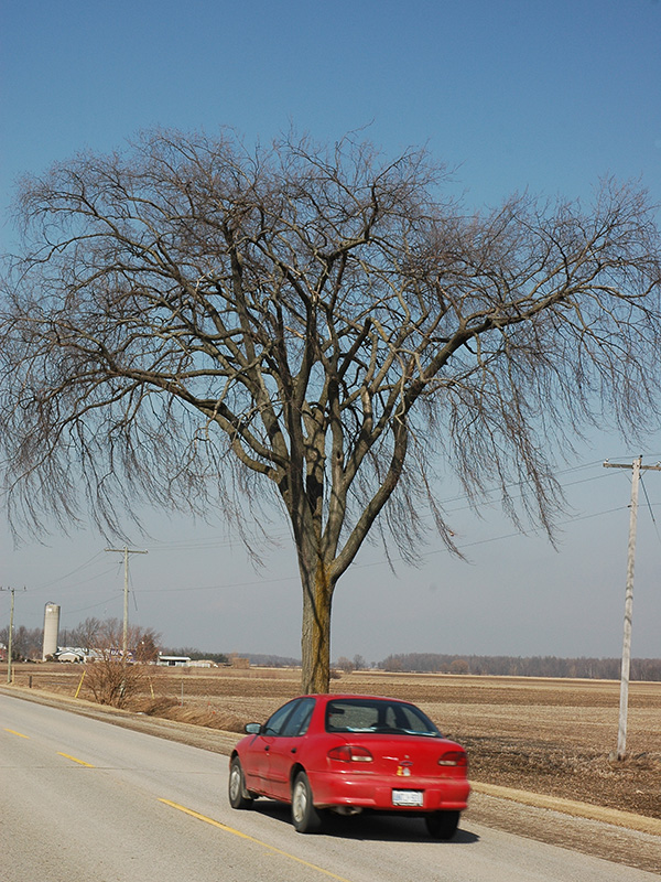 A tree alongside highway 23 near Bayfield, Ontario.