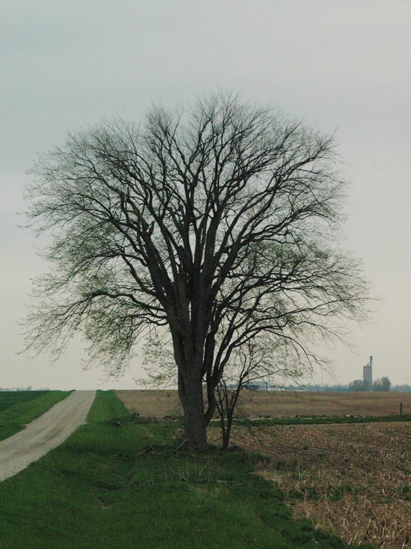 A mature tree in early spring in Adelaide Township, Ontario. This tree died in 2012 due to Dutch Elm disease.