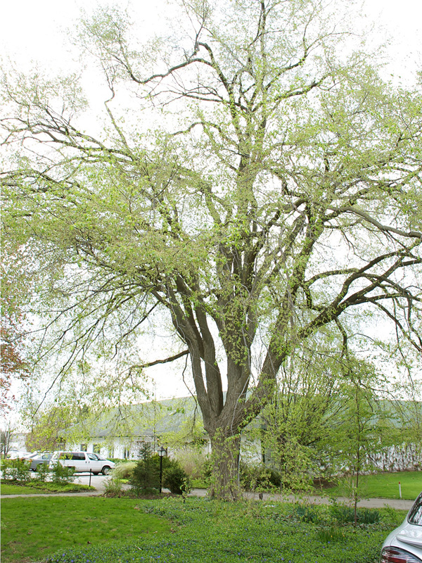 A 120 year old tree in A.M (Mac) Cuddy Garden in Strathroy, Ontario, Canada. This tree was removed in 2012 due to Dutch Elm disease.